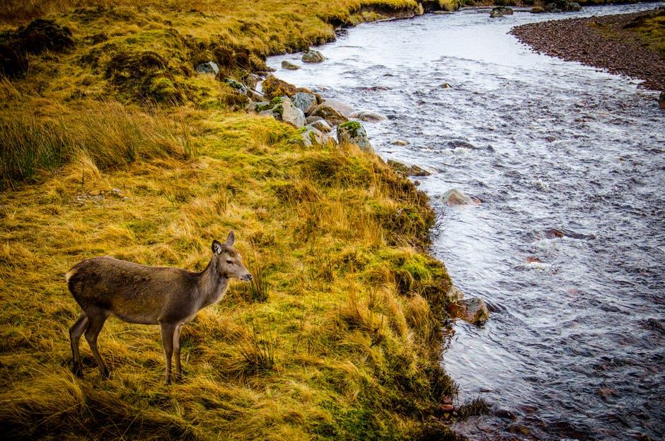 deer-water